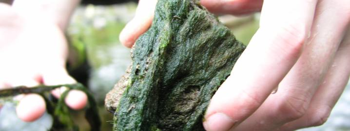 Filamentous green algae growing on rock
