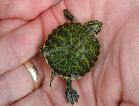 Baby Freshwater Turtles Photos of baby animals for