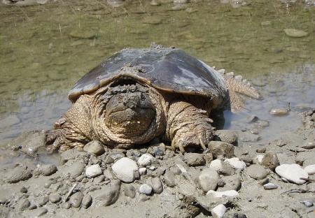 Life Aquatic: Snapping Turtle Philadelphia Water Department